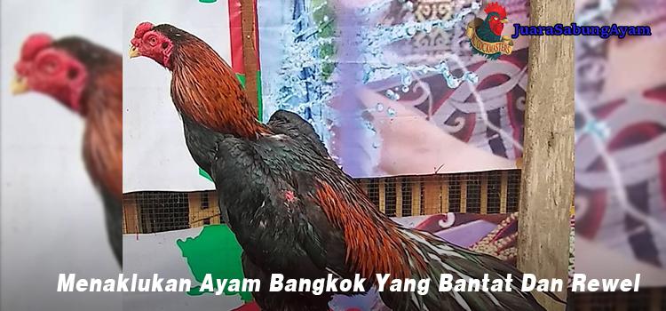 Menaklukan Ayam Bangkok Yang Bantat Dan Rewel