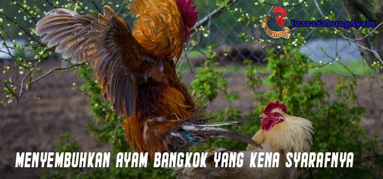 Menyembuhkan Ayam Bangkok Yang Terkena Syarafnya