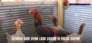 Sejarah Dari Ayam Laga Saipan di Pulau Saipan