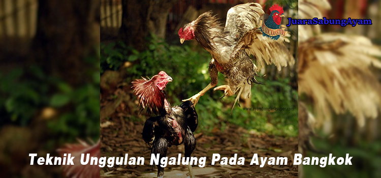 Teknik Unggulan Ngalung Pada Ayam Bangkok