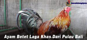 Ayam Betet Laga Khas Dari Pulau Bali