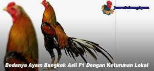 Bedanya Ayam Bangkok Asli F1 Dengan Keturunan Lokal