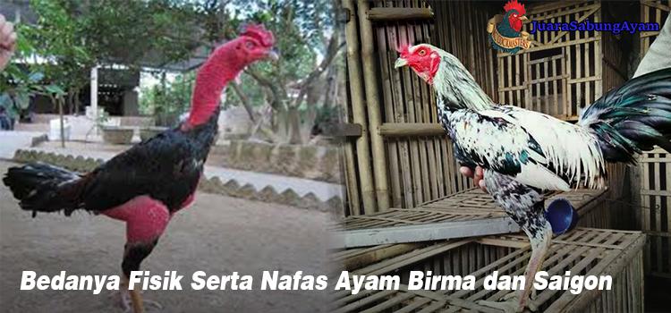 Bedanya Fisik Serta Nafas Ayam Birma dan Saigon