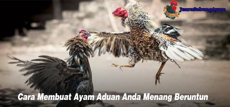 Cara Membuat Ayam Aduan Anda Menang Beruntun