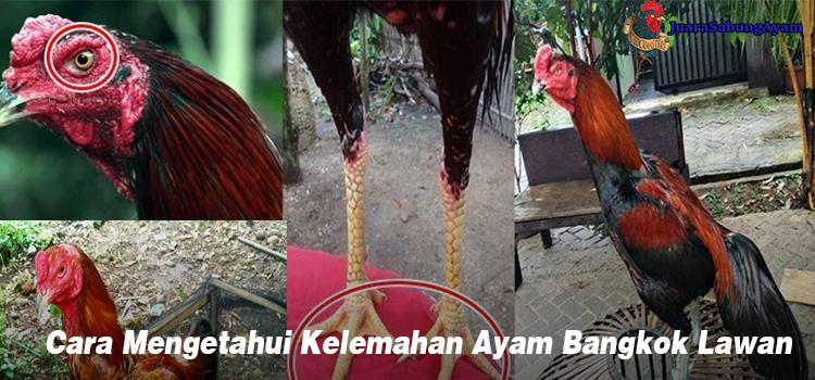 Cara Mengetahui Kelemahan Ayam Bangkok Lawan