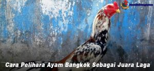 Cara Pelihara Ayam Bangkok Sebagai Juara Laga