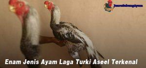 Enam Jenis Ayam Laga Turki Aseel Terkenal