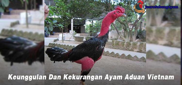 Keunggulan dan Kekurangan ayam aduan vietnam