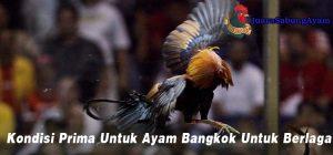 Kondisi Prima Untuk Ayam Bangkok Untuk Berlaga