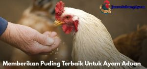 Memberikan Puding Terbaik Untuk Ayam Aduan