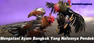 Mengatasi Ayam Bangkok Yang Nafasnya Pendek