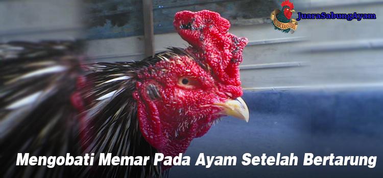 Mengobati Memar Pada Ayam Setelah Bertarung
