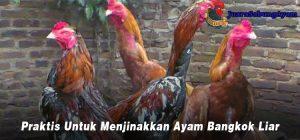 Praktis Untuk Menjinakkan Ayam Bangkok Liar