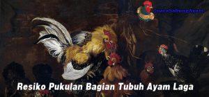 Resiko Pukulan Bagian Tubuh Ayam Laga