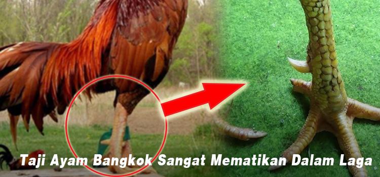 Taji Ayam Bangkok Sangat Mematikan Dalam Laga