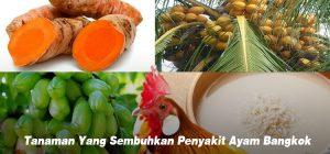 Tanaman Yang Menyembuhkan Semua Penyakit Ayam Bangkok