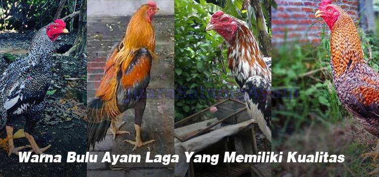 Warna Bulu Ayam Laga Yang Memiliki Kualitas