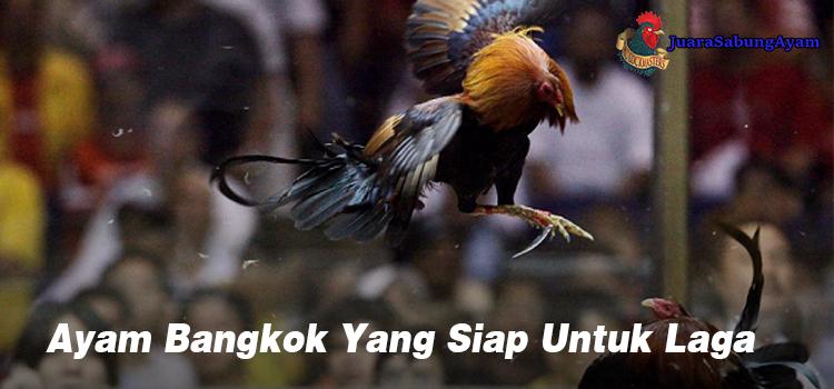 Ayam Bangkok Yang Siap Untuk Laga