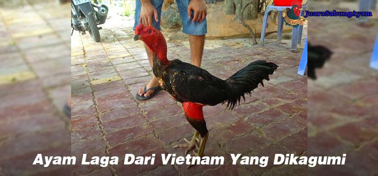 Ayam Laga Dari Vietnam Yang Dikagumi