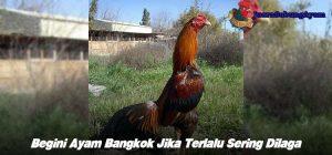 Begini Ayam Bangkok Jika Terlalu Sering Dilaga