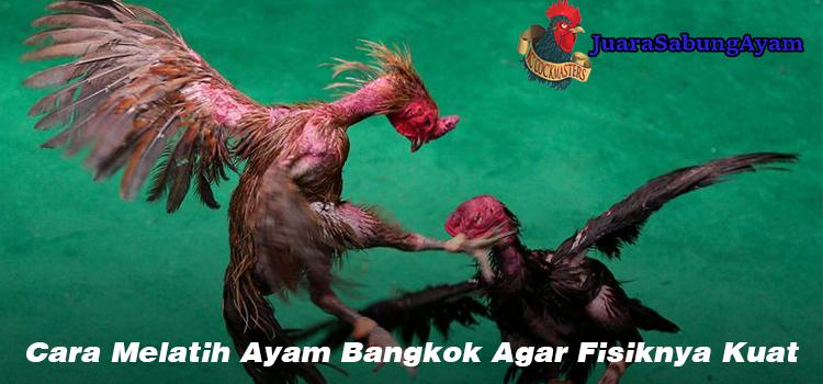 Cara Melatih Ayam Bangkok Agar Fisiknya Kuat
