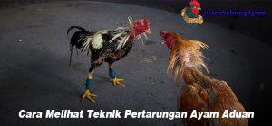 Cara Melihat Teknik Pertarungan Ayam Aduan