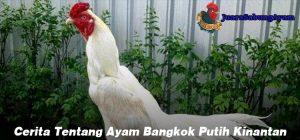 Cerita Tentang Ayam Bangkok Putih Kinantan