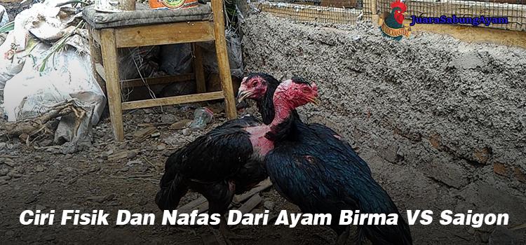 Ciri Fisik Dan Nafas Dari Ayam Birma VS Saigon