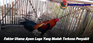 Faktor Utama Ayam Laga Yang Mudah Terkena Penyakit