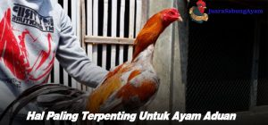 Hal Paling Terpenting Untuk Ayam Aduan