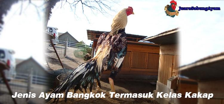 Jenis Ayam Bangkok Termasuk Kelas Kakap