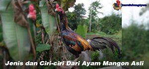 Jenis dan Ciri-ciri Dari Ayam Mangon Asli