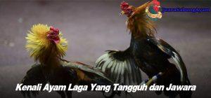 Kenali Ayam Laga Yang Tangguh dan Jawara