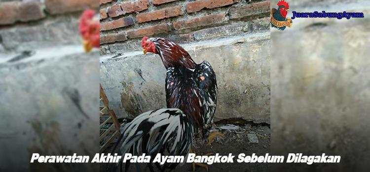 Perawatan Akhir Pada Ayam Bangkok Sebelum Dilagakan