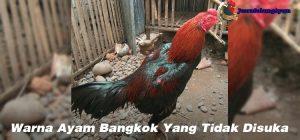 Warna Ayam Bangkok Yang Tidak Disuka