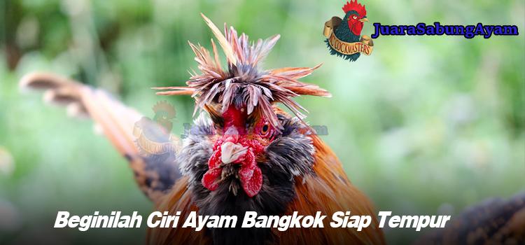 Beginilah Ciri Ayam Bangkok Siap Tempur