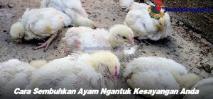 Cara Sembuhkan Ayam Ngantuk Kesayangan Anda
