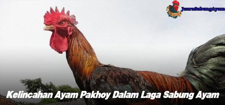Kelincahan Ayam Pakhoy Dalam Laga Sabung Ayam