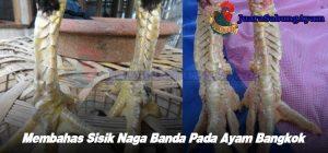 Membahas Sisik Naga Banda Pada Ayam Bangkok