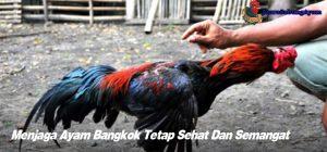 Menjaga Ayam Bangkok Tetap Sehat Dan Semangat