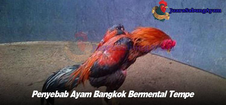 Penyebab Ayam Bangkok Bermental Tempe