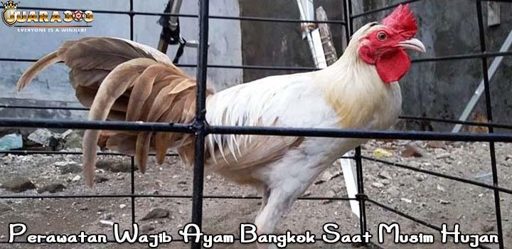 Perawatan Wajib Ayam Bangkok Saat Musim Hujan