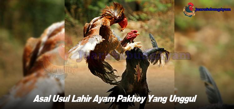 Asal Usul Lahir Ayam Pakhoy Yang Unggul