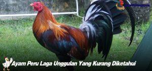 Ayam Peru Laga Unggulan Yang Kurang Diketahui