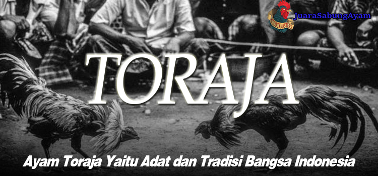 Ayam Toraja Yaitu Adat dan Tradisi Bangsa Indonesia
