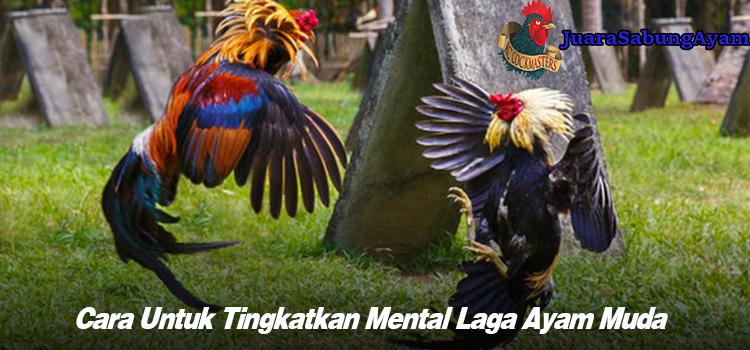 Cara Untuk Tingkatkan Mental Laga Ayam Muda