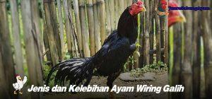 Jenis dan Kelebihan Ayam Wiring Galih