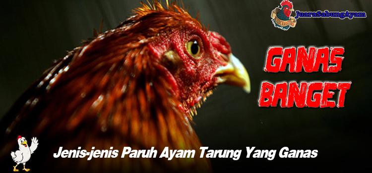 Jenis-jenis Paruh Ayam Tarung Yang Ganas