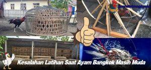 Kesalahan Latihan Saat Ayam Bangkok Masih Muda