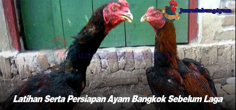 Latihan Serta Persiapan Ayam Bangkok Sebelum Laga